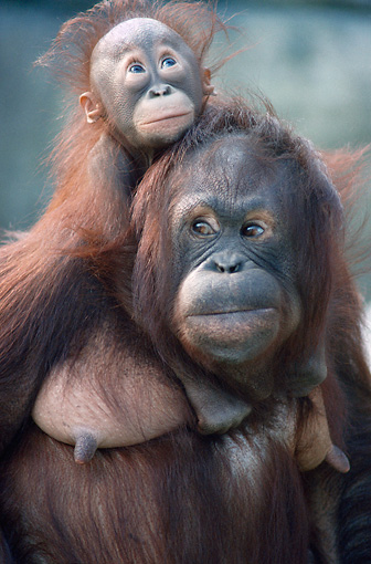 PRM 05 GR0002 01 © Kimball Stock Close-Up Of Baby Orangutan Sitting On Mother's Back