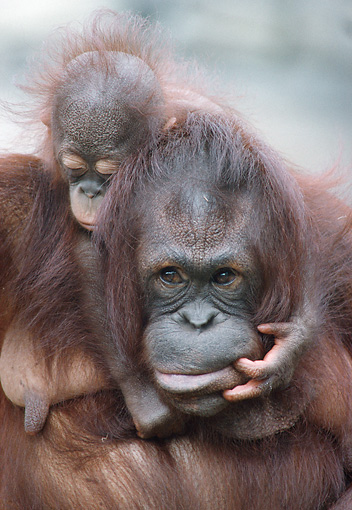 PRM 05 GR0003 01 © Kimball Stock Close-Up Of Baby Orangutan Sitting On Mother's Back
