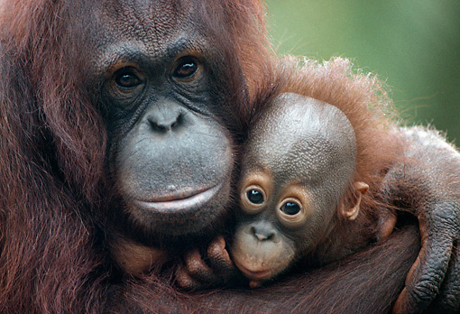 PRM 05 GR0004 01 © Kimball Stock Close-Up Of Mother Orangutan Hugging Baby
