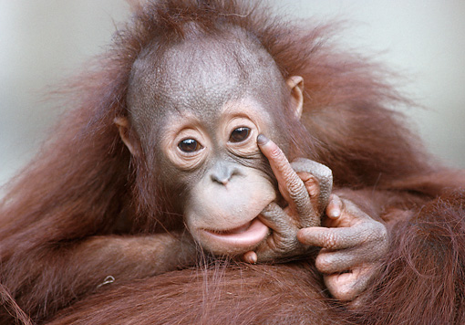 PRM 05 GR0009 01 © Kimball Stock Close-Up Of Baby Orangutan Biting Finger On Mother's Back