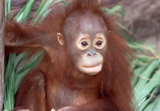 PRM 05 GR0011 01 © Kimball Stock Close-Up Of Baby Orangutan Sitting In Vegetation