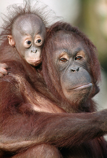 PRM 05 GR0015 01 © Kimball Stock Close-Up Of Baby Orangutan Sitting On Mother's Back