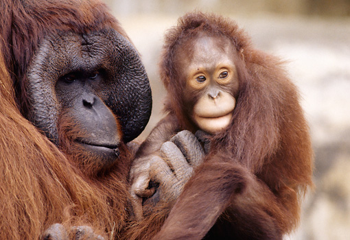 PRM 05 GR0016 01 © Kimball Stock Close-Up Of Baby Orangutan Sitting With Father