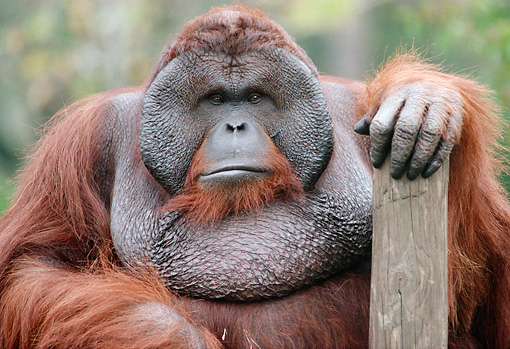 PRM 05 GR0017 01 © Kimball Stock Close-Up Of Male Orangutan Sitting With Hand On Wooden Post