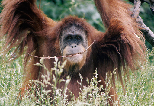 PRM 05 GR0019 01 © Kimball Stock Close-Up Of Orangutan Sitting In Grass Arms Raised Holding Stick In Mouth