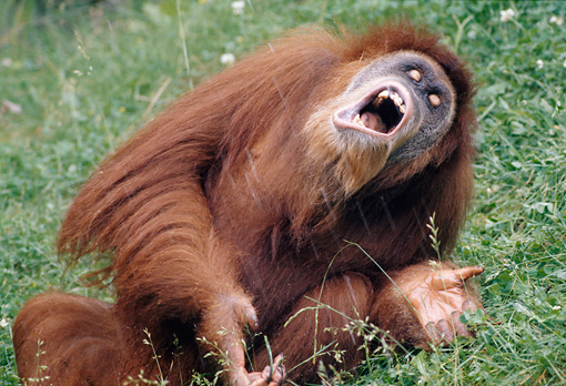 PRM 05 GR0021 01 © Kimball Stock Close-Up Of Orangutan Sitting In Grass Catching Falling Water In Mouth