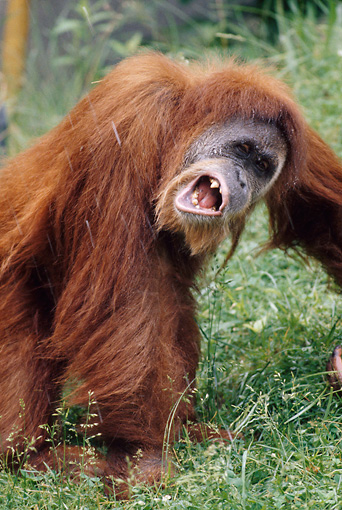 PRM 05 GR0022 01 © Kimball Stock Close-Up Of Orangutan Standing In Grass Catching Falling Water In Mouth
