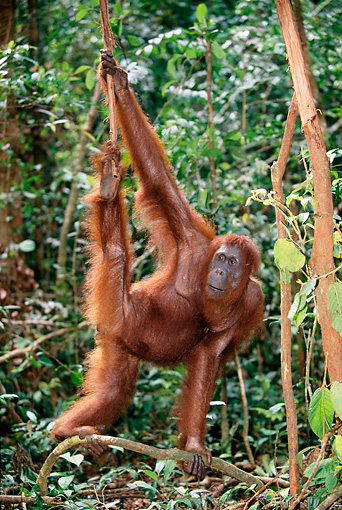 PRM 05 KH0001 01 © Kimball Stock Orangutan Hanging From Vine In Jungle