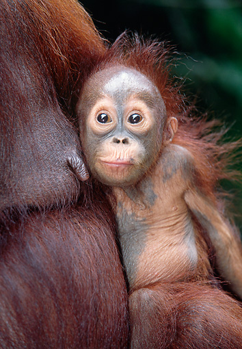 PRM 05 KH0003 01 © Kimball Stock Orangutan Baby Being Held By Mother