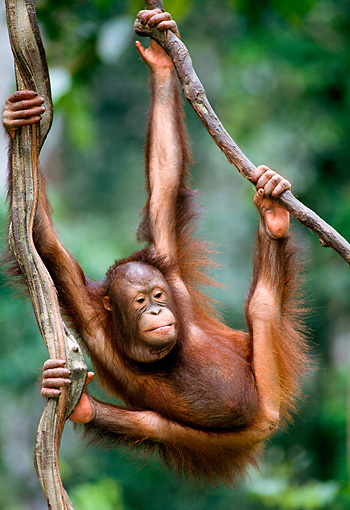 PRM 05 NE0001 01 © Kimball Stock Young Bornean Orangutan Swinging On Vines In Rainforest Borneo