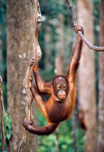 PRM 05 NE0002 01 © Kimball Stock Young Bornean Orangutan Swinging On Vines In Rainforest Borneo