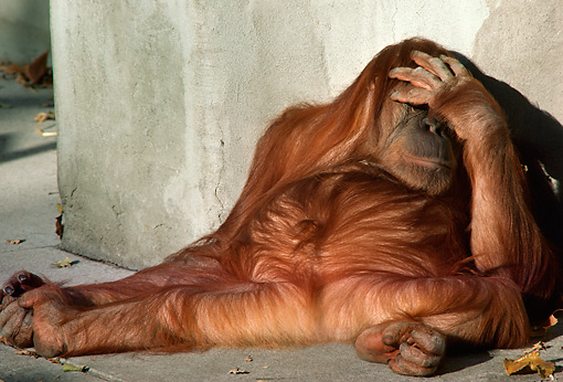 PRM 05 RC0001 01 © Kimball Stock Orangutan Sleeping Against Wall With Hand Covering Eyes