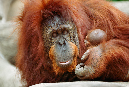 PRM 05 RC0002 01 © Kimball Stock Close Up Of Mother Orangutan Holding Sleeping Infant