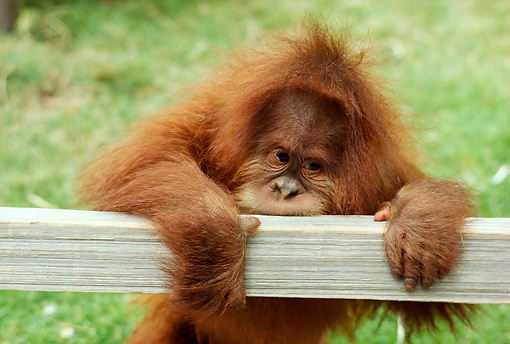 PRM 05 RC0003 01 © Kimball Stock Baby Orangutan Climbing On Fence