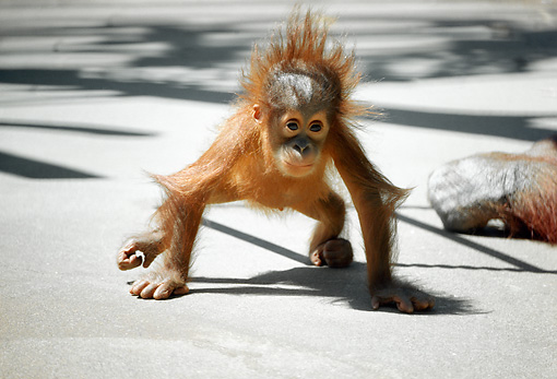 PRM 05 RC0004 01 © Kimball Stock Baby Orangutan Walking On Concrete
