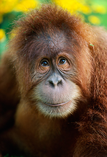 PRM 05 RK0001 07 © Kimball Stock Head Shot Of Young Orangutan