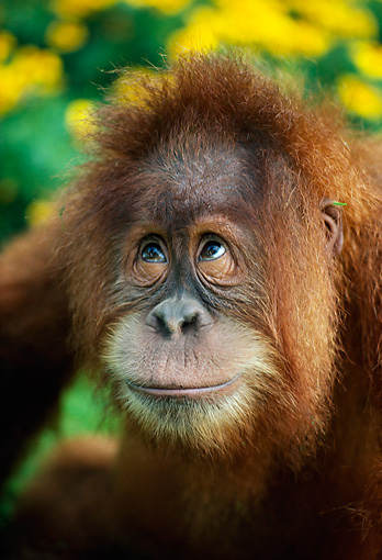 PRM 05 RK0001 09 © Kimball Stock Head Shot Of Young Orangutan