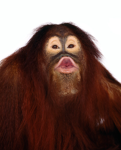 PRM 05 RK0002 10 © Kimball Stock Humorous Orangutan Chuckie Puckering At Camera On White Seamless Background