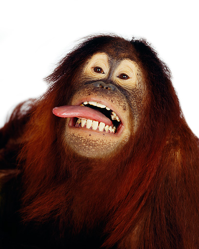 PRM 05 RK0003 01 © Kimball Stock Humorous Head Shot Of Orangutan Chuckie Sticking Out Tongue White Seamless Background
