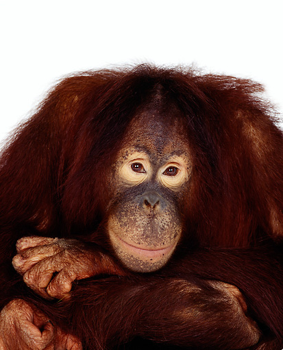 PRM 05 RK0006 04 © Kimball Stock Head Shot Of Orangutan Chuckie On White Seamless