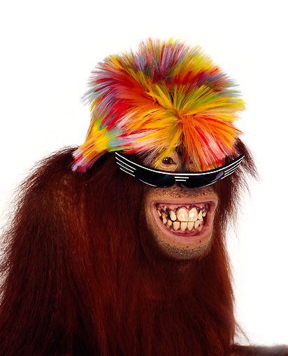 PRM 05 RK0007 02 © Kimball Stock Humorous Head Shot Of Orangutan Chuckie Wearing Wig And Sunglasses