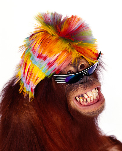 PRM 05 RK0007 23 © Kimball Stock Humorous Head Shot Of Orangutan Chuckie Wearing Wig And Sunglasses
