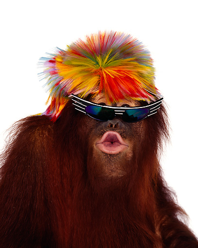PRM 05 RK0007 29 © Kimball Stock Humorous Head Shot Of Orangutan Chuckie Wearing Wig And Sunglasses