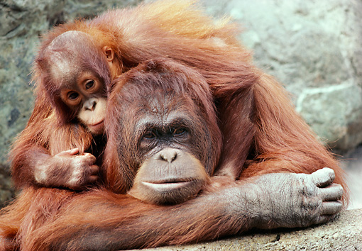 PRM 05 RK0063 19 © Kimball Stock Mother And Baby Orangutan Laying Together