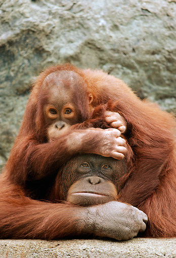PRM 05 RK0071 32 © Kimball Stock Baby Orangutan Playing On Mother's Back