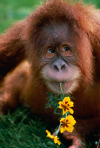 PRM 05 RK0076 03 © Kimball Stock Head Shot Of Young Orangutan Eating Yellow Flower