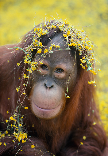 PRM 05 RK0084 07 © Kimball Stock Head Shot Of Orangutan With Yellow Flowers On Head