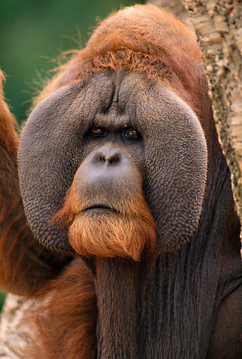PRM 05 TL0001 01 © Kimball Stock Portrait Head Shot Of Sumatran Adult Male Orangutan