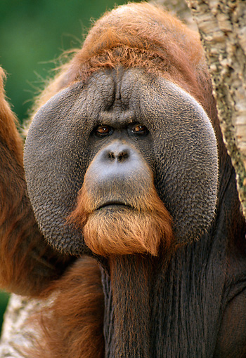 PRM 05 TL0001 02 © Kimball Stock Portrait Head Shot Of Sumatran Adult Male Orangutan