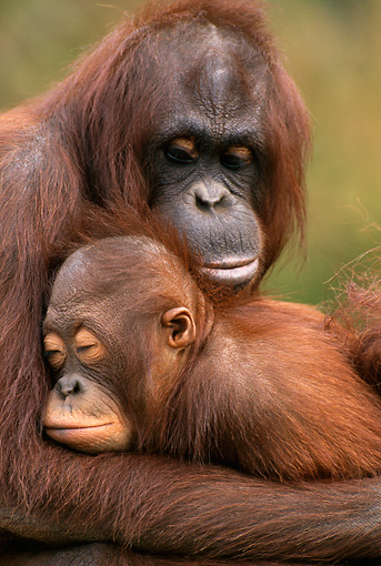 PRM 05 TL0003 01 © Kimball Stock Adult Orangutan With Young Sleeping In Arms