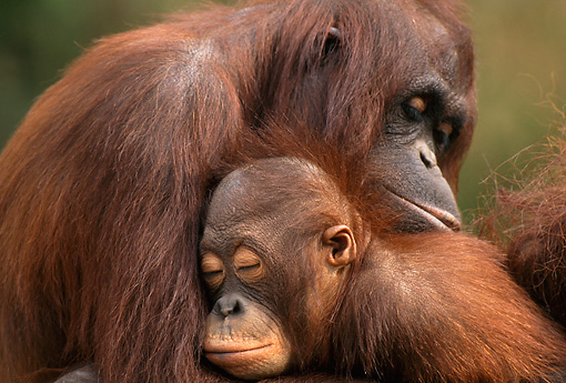 PRM 05 TL0004 01 © Kimball Stock Adult Orangutan With Young Sleeping In Arms
