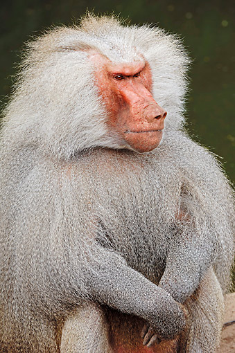 PRM 06 AC0015 01 © Kimball Stock Hamadryas Baboon Sitting And Looking Mean