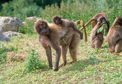 PRM 06 GL0001 01 © Kimball Stock Group Of Gelada Baboons In Grassland