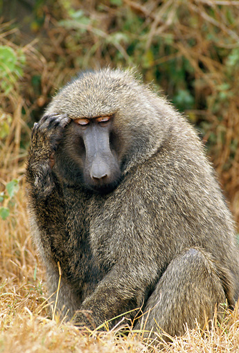 PRM 06 GL0003 01 © Kimball Stock Olive Baboon Sitting In Dry Grass