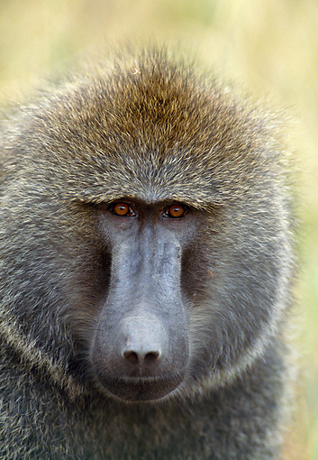 PRM 06 GL0006 01 © Kimball Stock Head Shot Of Olive Baboon