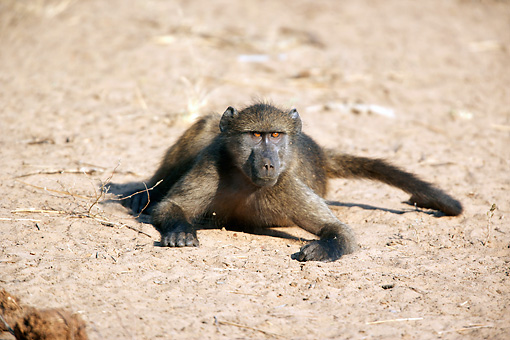PRM 06 HP0002 01 © Kimball Stock Chacma Baboon Foraging For Food On Sand Mkuze Game Reserve, South Africa