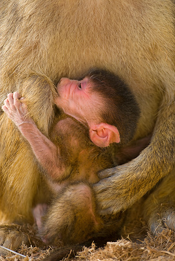 PRM 06 JZ0001 01 © Kimball Stock Close-Up Of Newborn Yellow Baboon Sitting With Mother Kenya