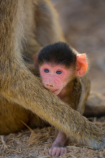 PRM 06 JZ0002 01 © Kimball Stock Close-Up Of Newborn Yellow Baboon Sitting With Mother Kenya