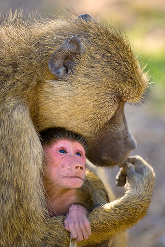 PRM 06 JZ0003 01 © Kimball Stock Head Shot Of Mother Yellow Baboon Holding Newborn Baby Kenya