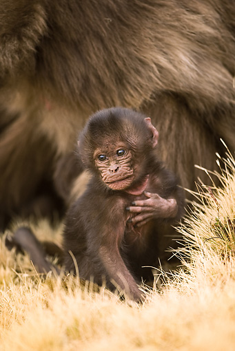 PRM 06 MC0002 01 © Kimball Stock Portrait Of Young Gelada Baboon Sitting On Dry Grass Ethiopia