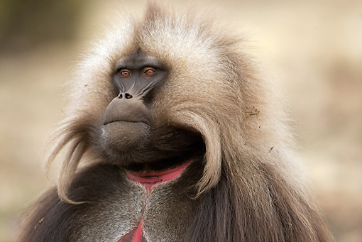 PRM 06 MC0007 01 © Kimball Stock Head Shot Of Gelada Baboon Ethiopia