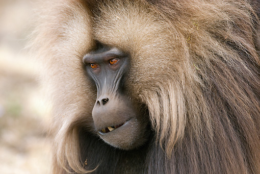 PRM 06 MC0008 01 © Kimball Stock Head Shot Of Gelada Baboon Ethiopia