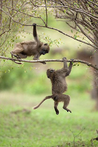 PRM 06 MC0009 01 © Kimball Stock Olive Baboon Juveniles Playing On Tree Branches Kenya