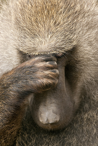 PRM 06 MC0010 01 © Kimball Stock Portrait Of Olive Baboon Male Thinking Kenya