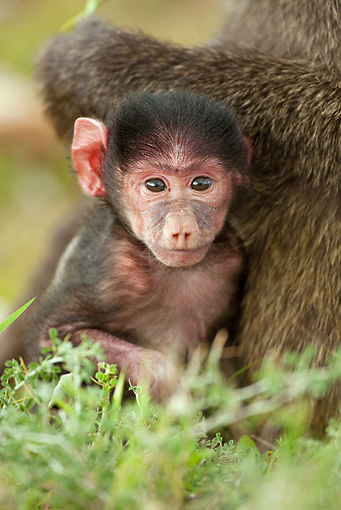 PRM 06 MC0012 01 © Kimball Stock Portrait Of Olive Baboon Baby With Mother Kenya