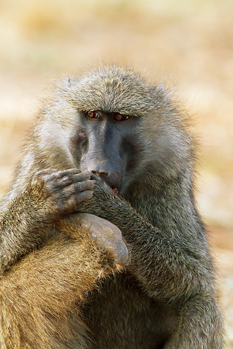 PRM 06 MC0014 01 © Kimball Stock Portrait Of Olive Baboon Eating Doum Palm Fruit Kenya